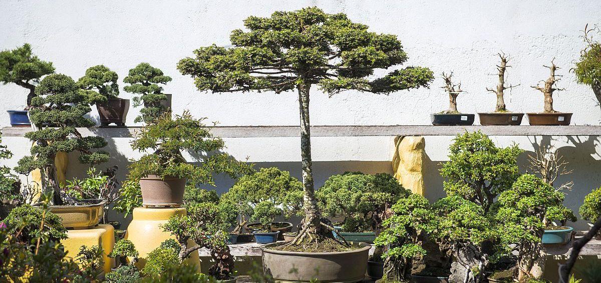 bonsai-araucaria-la
