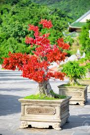 Amazing Red Bonsai Tree Growing In Pot Outdoors On Summer Sunny ...
