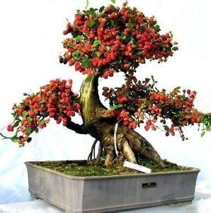 arvore bonsai amora