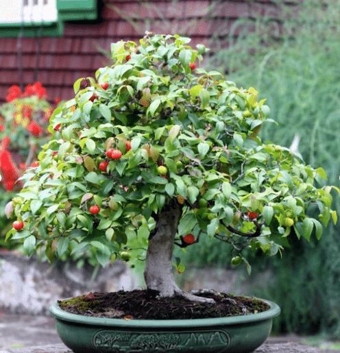 como cuidar de um bonsai pitanga