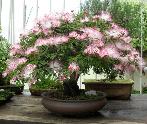 bonsai caliandra