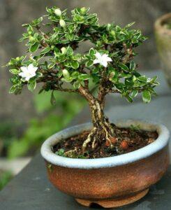 como cuidar de um bonsai serissa