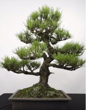 imagem de um modelo de bonsai pinheiro