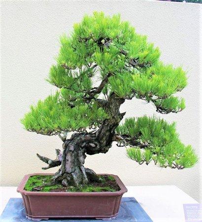 como cuidar de um bonsai pinheiro