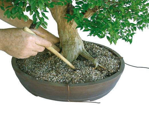 planta com hashi Fazer um bonsai passo a passo