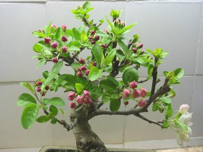 Bonsai macieira