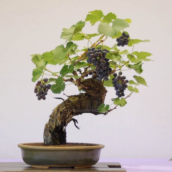 bonsai uva